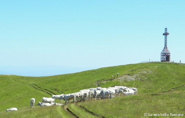 Mucche in montagna di Toscana