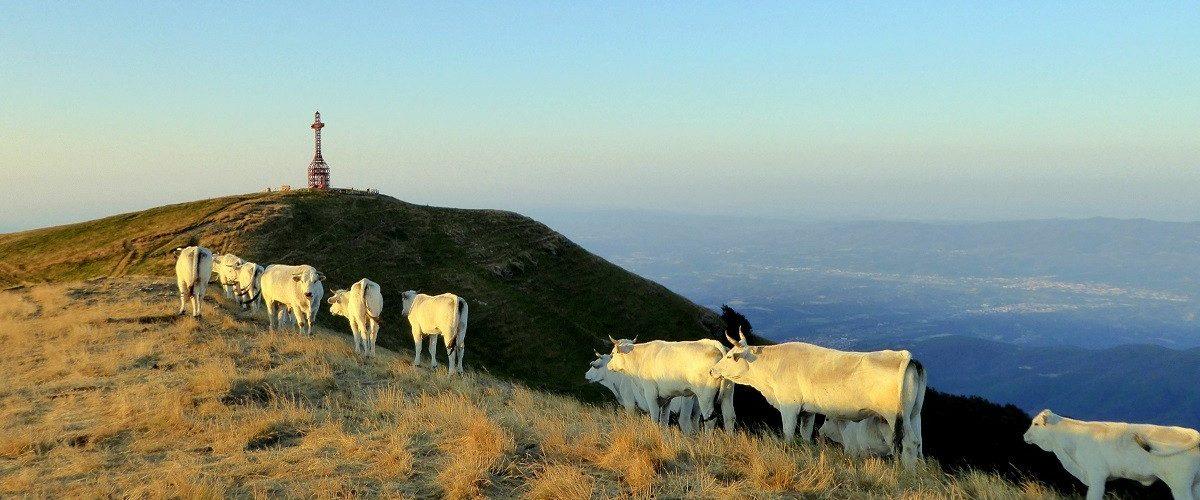 Mucche Pratomagno