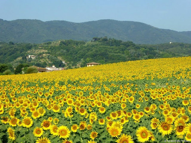 Girasoli in Toscana