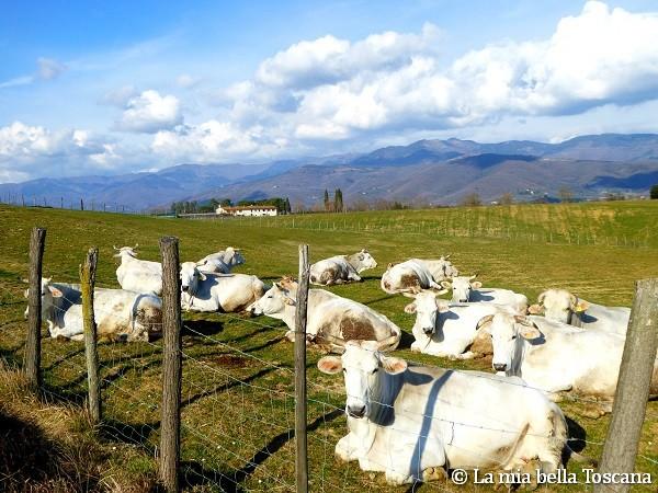 Mucche nel Valdarno