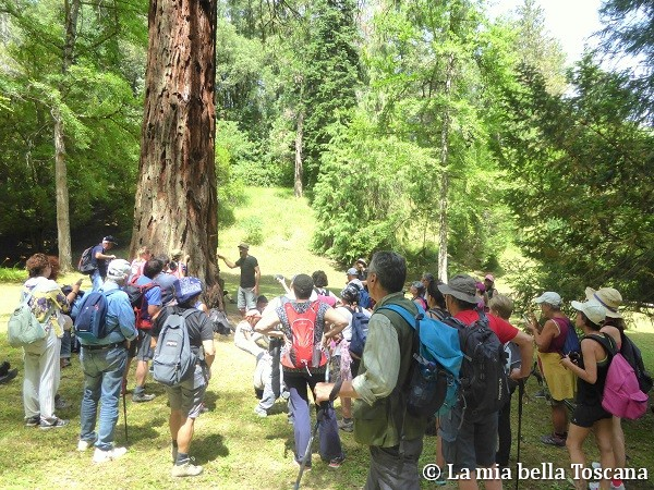 Sequoie in Toscana